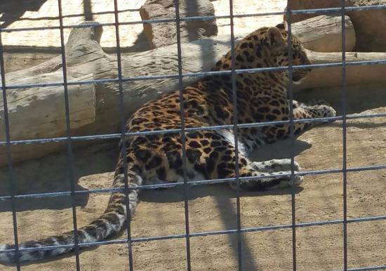 The Cat House: Panthera Pardus Orientalis / Amur Leopard