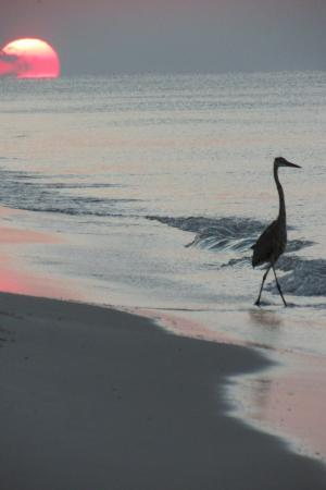 Martinique on the Gulf : Heron fishing on the beach at sunrise.