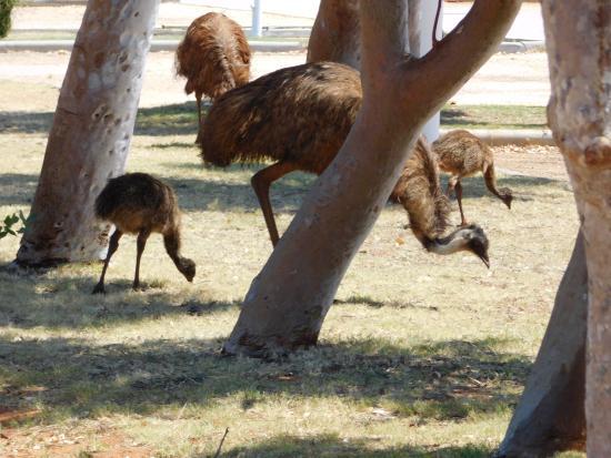 Jurabi Turtle Centre: Emu and chicks