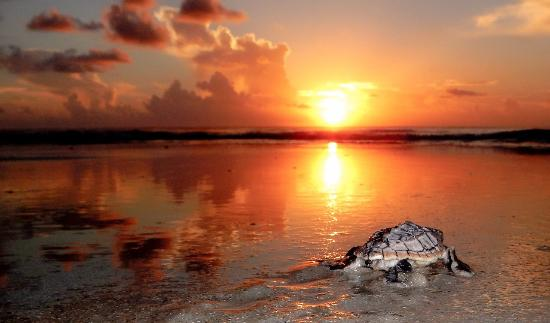 Amelia Island is home to four species of nesting sea turtles.