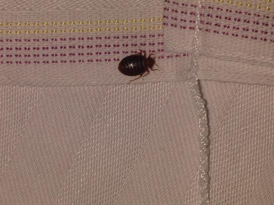 Baymont Inn & Suites Nashville Airport/ Briley: Bedbug on my sheets