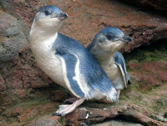 Pohatu Penguin Habitat: 2 characteristic White flippered penguin chicks.