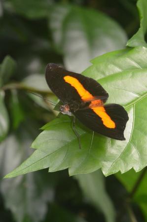 Jardin aux papillons : Catonephele