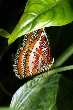 Jardin aux papillons : Cethosia biblis