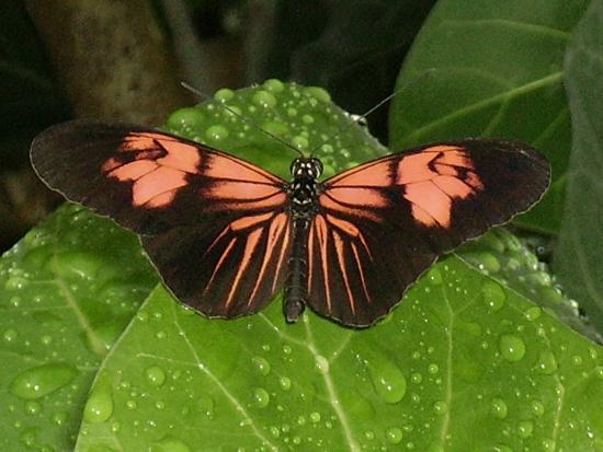 Jardin aux papillons : Heliconius