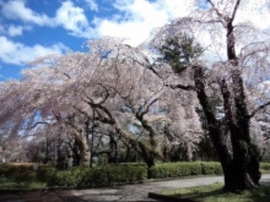 Tsutsujigaoka Park: 桜