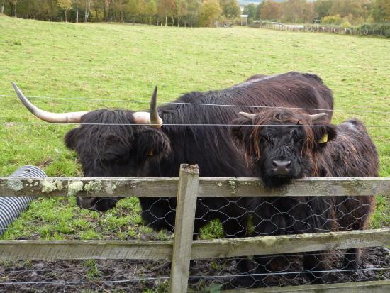 Glenmoriston, UK: Mother and calf