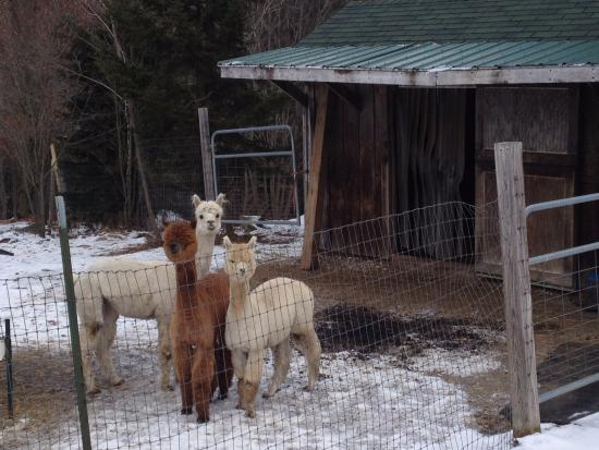 Bromley View Inn: Alpaca Farm