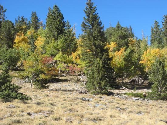 Great Basin Nationalpark, NV: Fall Leaves