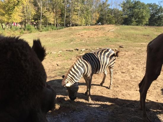 Cartersville, GA: Zebra and Camel seen from the hayride.
