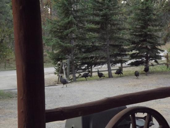 Turkeys visiting early morning picture of silver for Silver mountain cabins