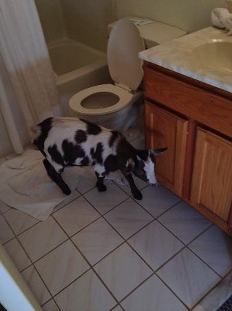 Greenville, Wirginia: Bathroom with goat