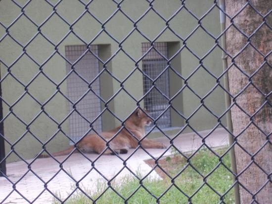 Jupiter, FL: Florida Panther