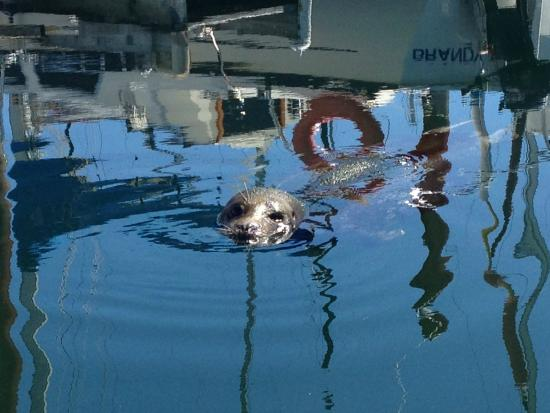 Courtenay, Canadá: Sammi, the local seal in Comox Harbour