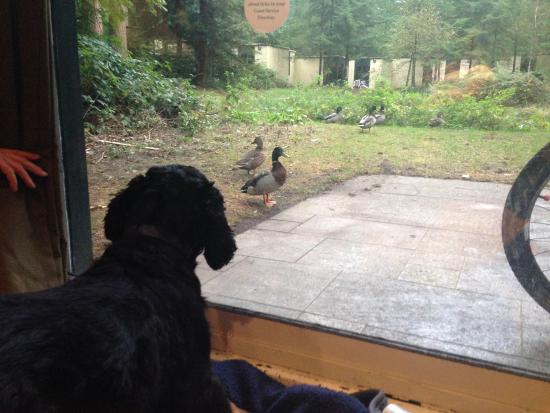 Center Parcs Longleat Forest: Our dog keeping an eye on the ducks...