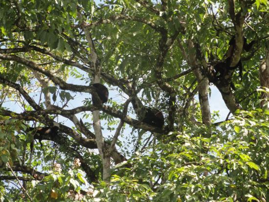 Cano Negro, Κόστα Ρίκα: monkeys