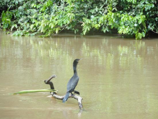 Cano Negro, Κόστα Ρίκα: bird drying
