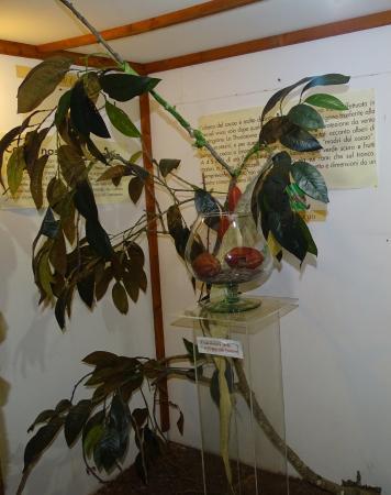 Pianta Del Cacao Bilde Av Museo Del Cioccolato Antica Norba I