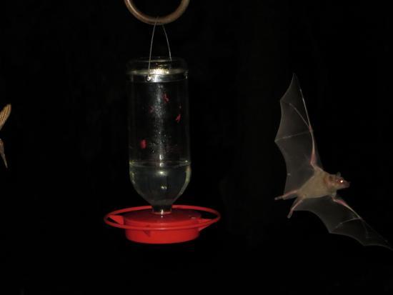 Madera Canyon, AZ: Long nosed bat