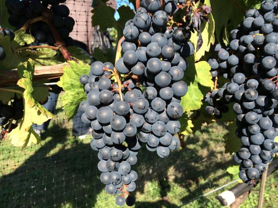 Nanaimo, Canadá: Grapes on the vineyard