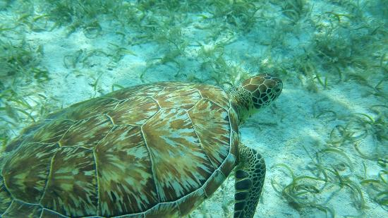 Caye Caulker, Belize: See turtles