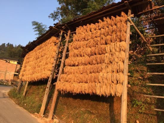 Congjiang County, Cina: drying rice