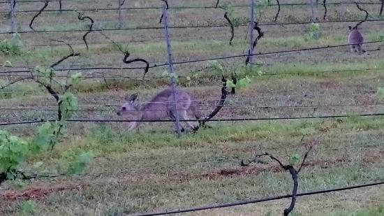 Twin Trees Country Cottages: local kangaroos coming to say hi