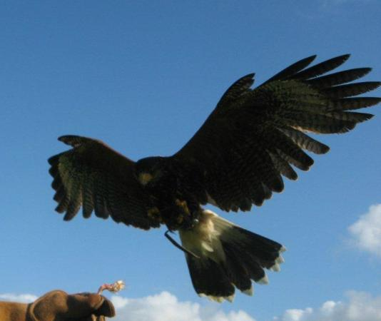 West of England Falconry: Hawk Walks in Bath