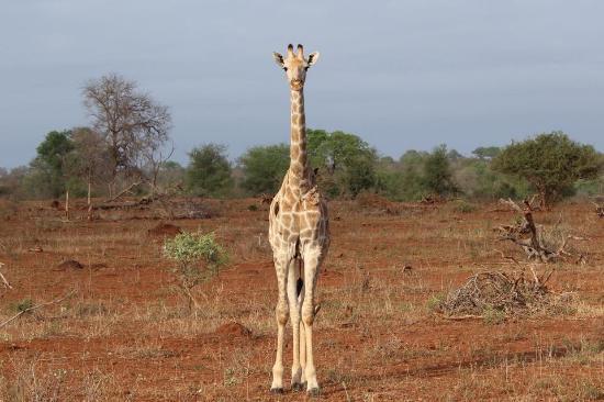 Bushwise Safaris: The giraffes wander through the hotel grounds!