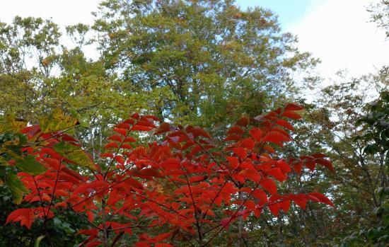 Kayanotaira Highland: ウルシの紅葉