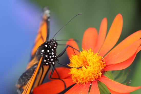 Morpho bleu photo de jardin botanique de montreal for Papillon jardin botanique 2015
