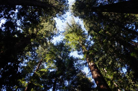 Boonville, CA: Towering redwood stands
