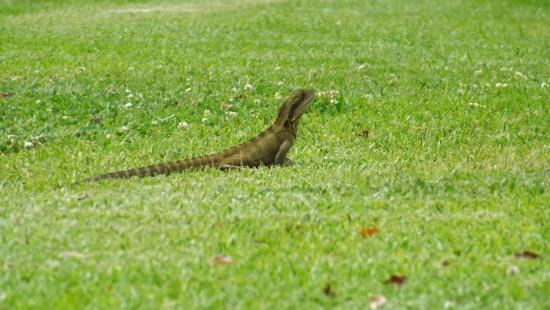Bangalow Guesthouse: Lizard on lawn