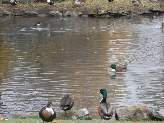 waddling fat ducks in congress park saratoga spings ny usa picture