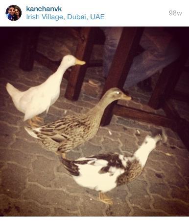 The Irish Village Cute Little Ducks Walking Around