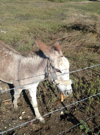 Wingate by Wyndham New Braunfels: Friendly animal neighbors!