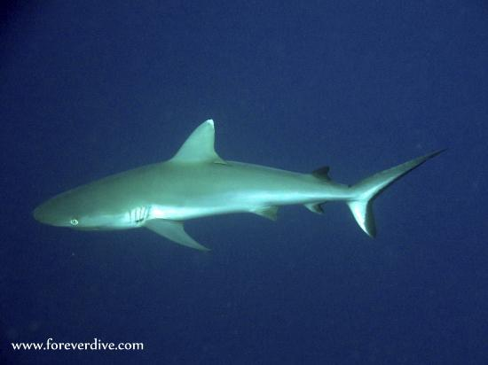 Forever Dive : requin gris