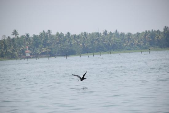 Kerala Backwaters: Bird flying over vembanad lake