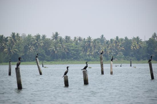 Kerala Backwaters: Birds in vembanad lake
