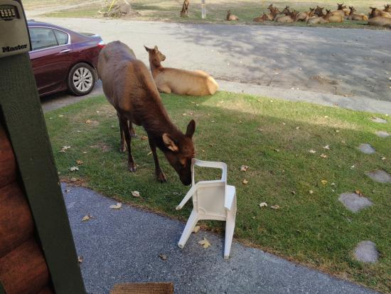 Elk Meadow Cabins: Scratching her head on chair.