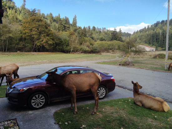 Elk Meadow Cabins: Scratching her head on side mirror.