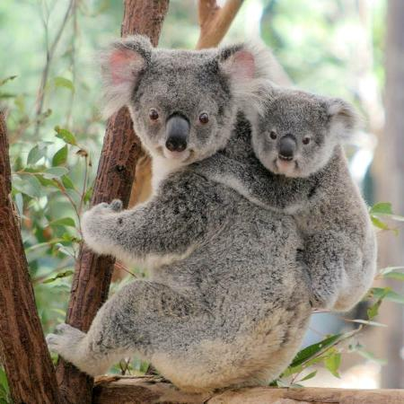 an overview of the koala of australia Discover the ways that koalas sleep away their days and nights  koalas live in  eastern australia, where the eucalyptus trees they love are most plentiful in fact.