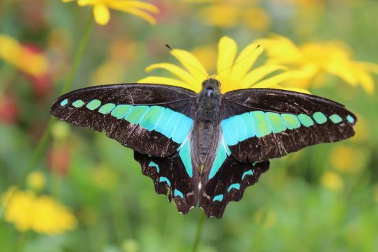 Kupu Kupu Asli Malaysia Picture Of Cameron Highlands Butterfly