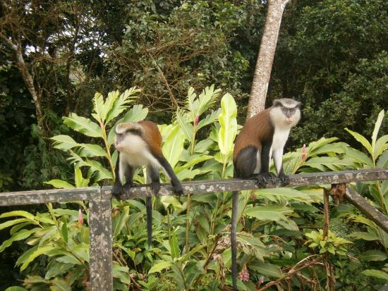 Magazine Beach, Grenada: Mona monkeys during island tour with Tom