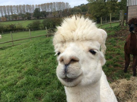 Tanworth in Arden, UK: Alpaca