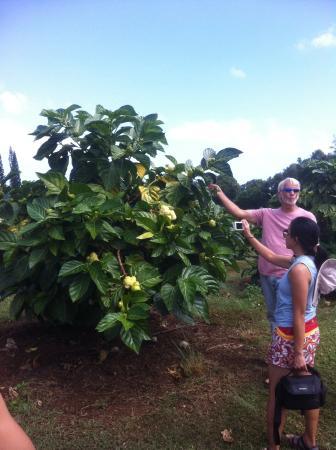 Kilauea, Hawaï: Steve and noni tree