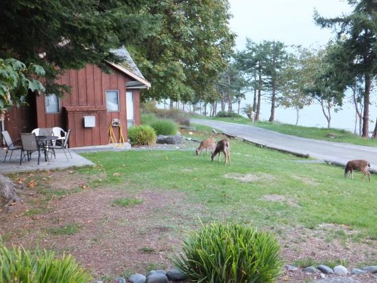 Tsa-Kwa-Luten Lodge: Grazing deer by cabin