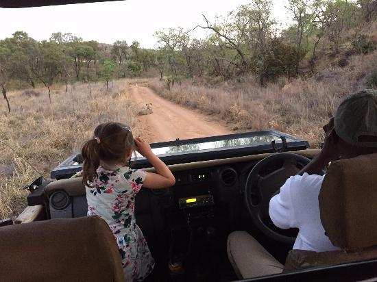 Mhondoro Game Lodge: lions on the road during family game drive