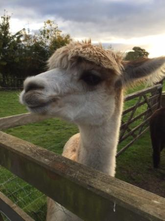 Munslow, UK: Lizzie the Alpaca <3