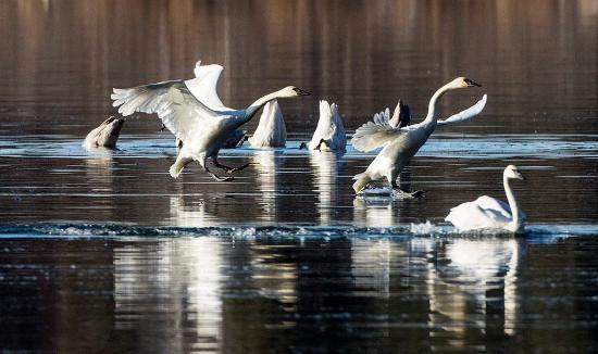 Moose Pass, AK: swans